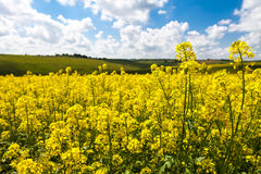 Vast fields of daisies and flowering mustard in Russia Royalty Free Stock Images