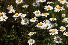 Vast fields of daisies and flowering mustard in Russia Stock Photography