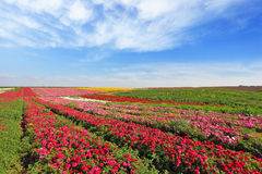 Vast fields of red flowers Ranunculus Stock Photo