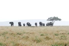 Vast grassland and elephants in rain Royalty Free Stock Photos