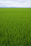 A vast and green paddy field with sky and horizon Royalty Free Stock Photos
