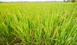 The vast green rice fields Stock Images