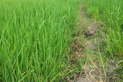 The vast green rice And pathway Stock Images