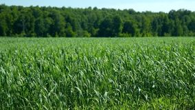 Vast green wheat field sway in wind by forest on sunny day stock video footage