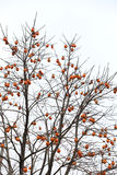 The vast majority of the branches growing orange persimmon Stock Images