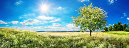 Vast meadow with blossoming tree in spring Royalty Free Stock Photo