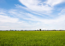 Vast paddy field under the cloudy sky. Stock Photos