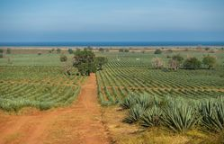 Sisal plantation and Indian Ocean in coastal Kenya. A vast plantation of the Sisal agave, agave sisalana, in coastal Kenya with the Indian Ocean in the stock image