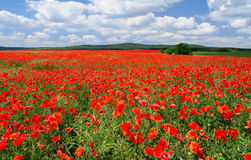 Vast poppy field Stock Photography