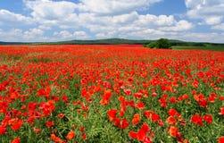 Vast poppy field stock photography