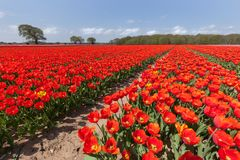 Vast red tulip fields in England Stock Image