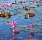 A vast sea of Red Water Lily cover the crystal surface of Nongharn Lake Stock Image