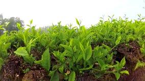 Vast tea gardens stock video