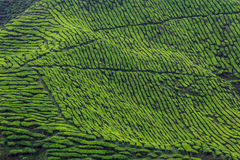 Vast Tea Plantation Royalty Free Stock Images