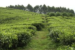 A vast tea plantation in Uganda. A view on a vast tea plantation in Uganda, Africa. On these hills there are endless fields of tea plants as far as the eye can royalty free stock images