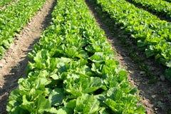 Vast vegetable field Stock Photo