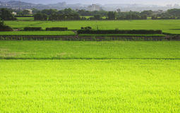 The vast view of rice Royalty Free Stock Image