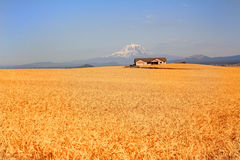 Vast Wheat Field. A vast golden wheat field under clear blue skies. Snow capped Mt Adams and a ranch house in the background royalty free stock photo