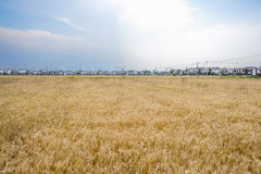 Vast wheat field before village in sunny summer afternoon Stock Photography