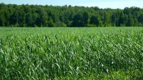 Vaste balancement vert de champ de blé en vent par la forêt le jour ensoleillé banque de vidéos