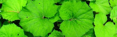 Vaste foglie verdi fotografie stock