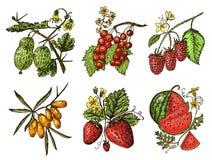 vastgestelde bessen de framboos, bosbes, duindoorn, rode aalbessen, aardbei, kruisbes, watermeloen, bergbraambes, hond nam toe royalty-vrije illustratie