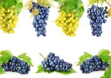 Vastgestelde blauwe en gele druivenvruchten met bladeren royalty-vrije stock foto's