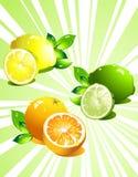 Vastgestelde citrusvruchten. Vector Royalty-vrije Stock Fotografie