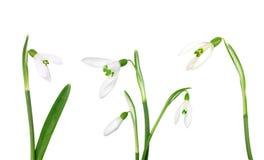 Vastgestelde die sneeuwklokjebloem op witte achtergrond wordt geïsoleerd Royalty-vrije Stock Fotografie