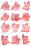 Vastgestelde geïsoleerdeo bloemen Stock Foto