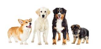 Vastgestelde honden Stock Afbeeldingen