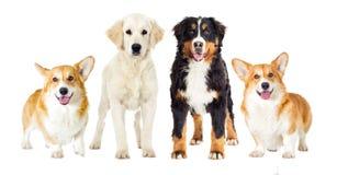 Vastgestelde honden Royalty-vrije Stock Afbeelding