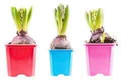 Vastgestelde hyacinten Royalty-vrije Stock Afbeelding