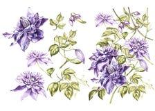 Vastgestelde Illustratie in waterverf van een bloesem van de clematissenbloem Bloemenkaart met bloemen Botanische illustratie royalty-vrije illustratie