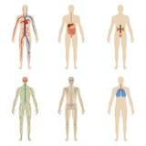 Vastgestelde menselijke organen en systemen van de lichaamsvitaliteit royalty-vrije stock foto