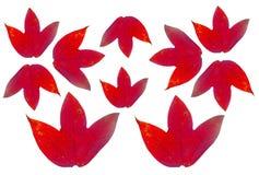 Vastgestelde rode die esdoornbladeren op witte achtergrond worden geïsoleerd royalty-vrije stock foto