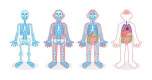 Vastgestelde skelet interne organen royalty-vrije illustratie