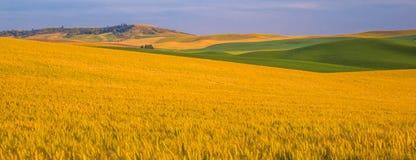 Vasti giacimenti di grano Fotografia Stock