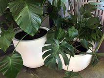Vasto arbusto di verde della foglia in grandi vasi bianchi fotografia stock libera da diritti