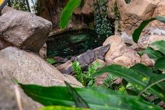 Vasto caiman latirostris snouted del caimano in zoo Barcellona fotografie stock libere da diritti