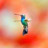Vasto colibrì fatturato (maschio) immagini stock libere da diritti