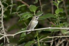Vasto colibrì munito femminile immagine stock libera da diritti
