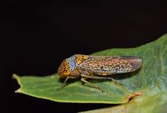 Vasto insetto intestato del tiratore scelto sulla foglia fotografie stock