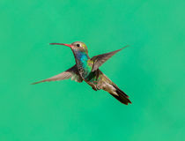 Vasto maschio fatturato del colibrì immagine stock