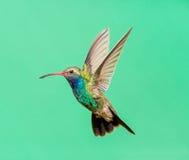 Vasto maschio fatturato del colibrì immagine stock libera da diritti