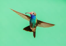 Vasto maschio fatturato del colibrì immagini stock