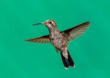 Vasto maschio fatturato del colibrì immagini stock libere da diritti