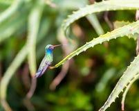 Vasto maschio fatturato del colibrì fotografia stock