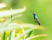 Vasto maschio fatturato del colibrì fotografie stock