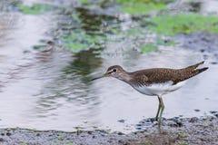 Vasto piovanello fatturato dell'uccello acquatico Falcinellus di Limicola immagini stock